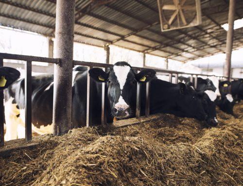 هزینه نگهداری گاو شیری در یکسال چقدر است؟